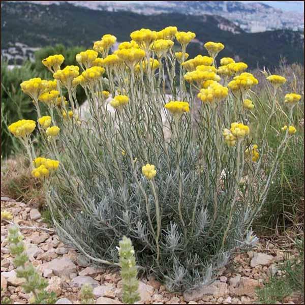 helichrysum-italicum-002
